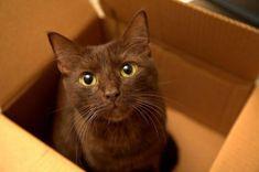 Amazing history of СЃat breed - Havana Brown Cat. Diseases of Havana Brown Cat. Havana Brown, Havana Cat, Brown Kitten, Brown Cat, Animals And Pets, Cute Animals, Chocolate Cat, Exotic Cats, Domestic Cat