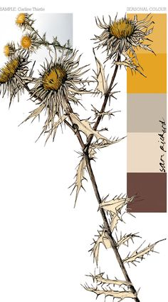 Planet Sam: Colours of the season - Carline Thistle yellow