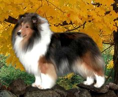The Shetland Sheepdog originated in the and its ancestors were from Scotland, which worked as herding dogs. These early dogs were fairly Blue Merle Sheltie, Shetland Sheepdog Puppies, Bearded Collie, Collie Puppies, Herding Dogs, Rough Collie, Baby Puppies, Sheep Dogs, Doggies