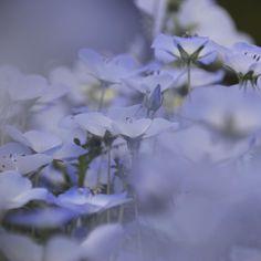 ネモフィラ。 前ボケの効果的な使い方がわかってない。 - - #ネモフィラ #国営昭和記念公園 #2017 #sigma #canon #eos #floralphoto #flowers #flower #flowerslovers  #花の写真館 #floralphotograph #tokyocameraclub #東京カメラ部  #花 #はなまっぷ #写真を撮るのが好き  #写真好きな人と繋がりたい  #写真撮ってる人と繋がりたい  #ファインダー越しの私の世界  #私の花の写真 #ザ花部  #日本 #lovers_nippon #team_jp_flower #gf_japan #ig_flowers #instaphotography http://gelinshop.com/ipost/1515600381479397643/?code=BUIfoRXhqkL