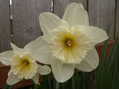 My husband collected Daffodils and planted them along our driveway, a welcome sight in spring