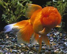 big headed gold fish - Google Search