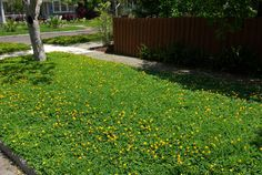 Ornamental peanut lawn! No need for water, fertilizer, pesticides, or mowing! WOW!