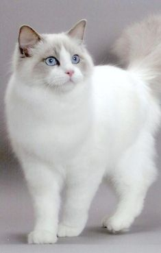 Top 10 Friendliest Cat Breeds: Ragdoll - My name gives me away. I am every bit as big fluffy and easy-going as a ragdoll. Built for affection Ill even go limp when you pick me up which Ill let you do even if youre a total stranger.