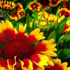 I min röd/orange/gula rabatt #trädgård#blommor#färgstarkt  #kokardblomster #garden#flowers #courfull#dm_photolife_nature #sweden_photolovers #loves_sweden