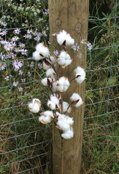SHIPS FREE 5-31 Long Stem Cotton Bolls Natural by TheWreathShed
