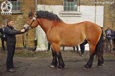 Polish Coldblood - stallion Haler