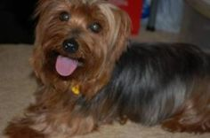 Lady Beth is an adoptable Yorkshire Terrier Yorkie Dog in Oklahoma City, OK. Im Lady Beth! It is so nice to be out of that puppy mill and living the life of a Lady now. My foster mom tells me what a ...