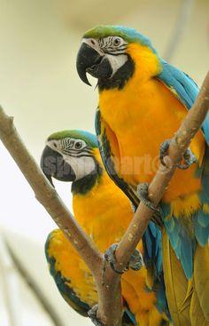 Macaw parrots – Stock Photo