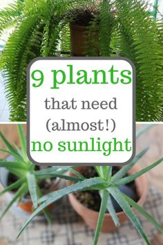 Plants that grow with little sunlight. Gardening, Gardening Tips, Indoor Gardening, Low Sunlight Plants