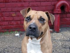 New York, New York. TO BE DESTROYED - 04/05/14 Brooklyn Center - P My name is PRECIOUS. My Animal ID # is A0995183. I am a female brown and white pit bull. The shelter thinks I am about 4 YEARS old. I came in the shelter as a OWNER SUR on 03/29/2014 from NY 11421, owner surrender reason stated was ALLERGIES