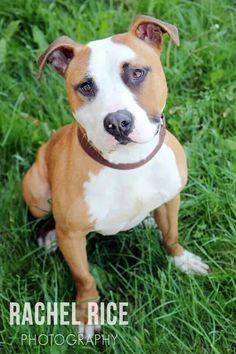 Toby! #adoptable at humane society of Livingston county.