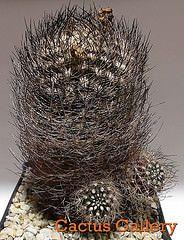 neoporteria nidus v.senilis Cactus Gallery