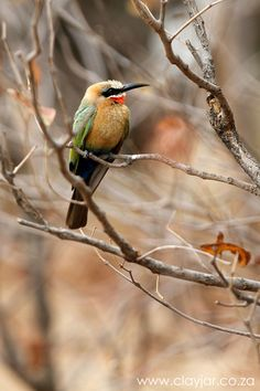 White Fronted Bee-eater - Cape Town Photographers | Clay Jar Photography