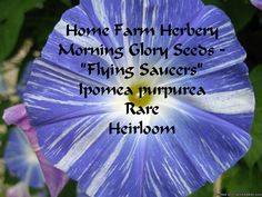 "Morning Glory Seeds - ""Flying Saucers"" Ipomoea tricolor, Order now, FREE shipping     At Home Farm Herbery we enjoy this untreated Flying Saucer variety of Morning Glory seeds which provide fast growing vines to 15 ft. with huge 5"" blooms of pure white brushed with lavender-lilac to blue in a pinwheel pattern. Lush, tropical-like foliage provide a nice variety to the usual ""Heavenly Blues"" that most morning glory fans are familiar with. Years ago I brought some seeds home from Oaxaca…"