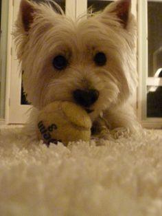 West Highland Terrier, Kaylee <3