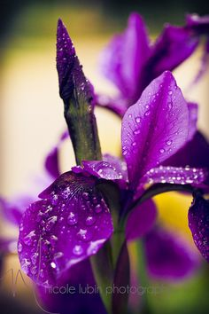 raindrops on irises