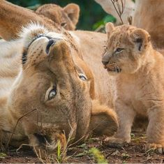 For information click. Baby Kittens, Cats And Kittens, Beautiful Cats, Animals Beautiful, Cute Baby Animals, Animals And Pets, Big Cats, Cute Cats, Cute Lion