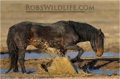Splish Splash in the Mud Bath Wild Horse in Mud by RobsWildlife