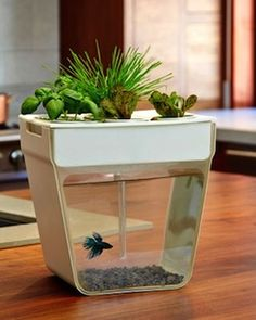 a miniature home aquaponics system. OMG.  i am allergic to every animal alive- except fish.  as long as I don't put lobster, shrimp or crawfish inside, then i'm all good.  #FCThankful