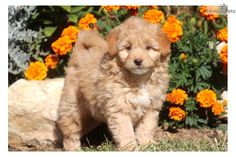 You'll love this Male Poma-Poo - Pomapoo puppy looking for a new home.