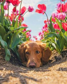 It's no surprise that the Golden Retriever is one of the ten most popular dogs in the US. Everything is good with the Golden: He is highly intelligent, outgoing, beautiful and loyal. Funny Animals, Cute Animals, Dog Training Courses, Running On The Beach, Tulip Fields, Decorating With Pictures, Dogs Golden Retriever, Animals Of The World