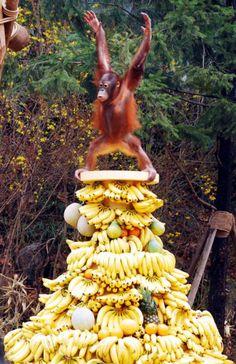 Happiest Orangutan In The World On Tower Of Fruit | COMEDY CZAR