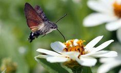 Seit auch in unseren Breitengraden sommerliche Höchsttemperaturen von 35 bis 40 Grad keine Ausnahme mehr sind, finden sich in unseren Gärten immer häufiger fremdartig aussehende Insekten – so auch das Taubenschwänzchen und die Blaue Holzbiene.