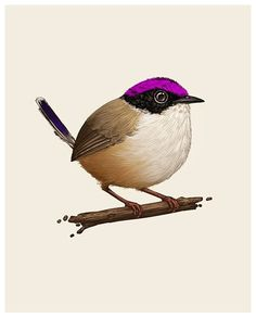 Mike Mitchell - Purple Crowned Fairywren   http://www.sirmitchell.com/