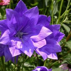 Balloon Flower Seeds ★ HAKONE DOUBLE BLUE ★ Canada ★ Perennial ★ 20 Seeds ★ Hakone, Hardy Perennials, Flowers Perennials, Name Balloons, Flower Garden Plans, Flowers Garden, Missouri Botanical Garden, Fish Farming, Balloon Flowers