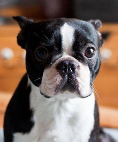 """Exceptional """"boston terriers"""" information is offered on our internet site. Check it out and you wont be sorry you did. Akc Breeds, Terrier Breeds, Terrier Puppies, I Love Dogs, Cute Dogs, Cute Puppies, Boston Terrier Love, Boston Terriers, Animals And Pets"""