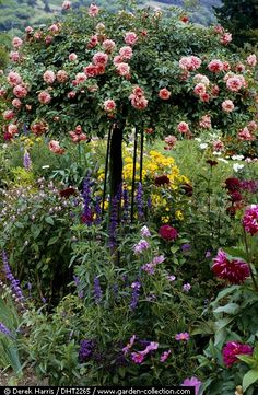 underplanting a tree rose