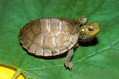 turtle - Buscar con Google