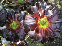 Aeonium arboreum 'Zwartkopf' - Black Rose is a striking succulent with clumps up to 3 feet (90 cm) tall gray-brown stems...