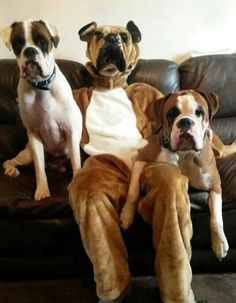 Can you tell which one is in costume? LOL! & 67 best Boxer Costumes images on Pinterest | Boxer dogs Boxer and ...