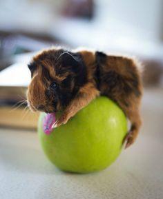 Un bébé Cochon d'inde sur une Pomme