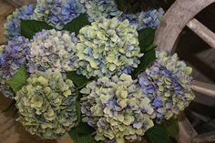 #Hydrangea #Hortensia #HildeMoorhof; Available at www.barendsen.nl