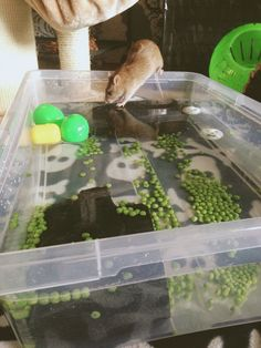 Ratties diving pool with peas rat activity things to do with rats Animals For Kids, Animals And Pets, Cute Animals, Strange Animals, Small Animals, Diy Rat Toys, Pet Rat Cages, Rat Cage Accessories, Rat Care