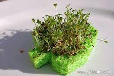 Sprout Shamrocks- St. Patrick's Day science activity from TeacherTime123