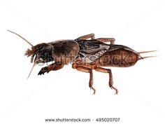 Mole cricket in watercolor