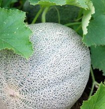 Growing Cantaloupe and Honey Dew Melons.
