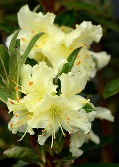 flowersgardenlove: Rhododendron Fletche Beautiful gorgeous pretty flowers (via star-bakkure) Exotic Flowers, Amazing Flowers, Beautiful Roses, Beautiful Flowers, Flowering Shrubs, Trees And Shrubs, Trees To Plant, Rhododendron, Plantation