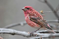 The Purple Finch is similar to the more common House Finch with some slight differences - the biggest being that the belly on the male does not have brown streaking. They also appear brighter than House Finches on average.