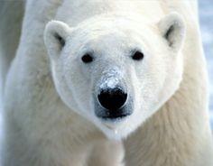 Urso polar - alguém quer um ?