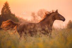 Freiberger Fuchs Wallach galoppiert im Sonnenaufgang über die Blumenwiese |  Pferd | Bilder | Foto | Fotografie | Fotoshooting | Pferdefotografie | Pferdefotograf | Ideen | Inspiration | Pferdefotos | Horse | Photography | Photo | Pictures