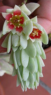 Plantas Suculentas: Pachyphytum werdermannii