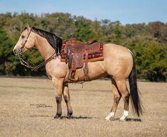 American Quarter Horse, Horse Tack, Horses, Animals, Animales, Animaux, Horse, Animal, Animais