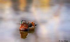 Mandarin in Nidelva, Trondheim by Aziz Nasuti on Trondheim, Animals, Animales, Animaux, Animal, Animais