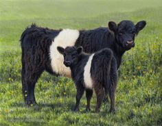 Andrew Hutchinson artist - I love belted galloways. Great looking cattle.