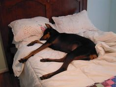 It doesn't matter the size of the bed...the Dobie will take it all up.  #dogs